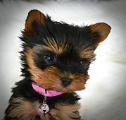 Yorkies For Sale Yorkie Puppies For Sale Teacup Yorkies For Sale Yorkie Puppy For Sale Yorkie Puppy Teacup Yorkie For Sale