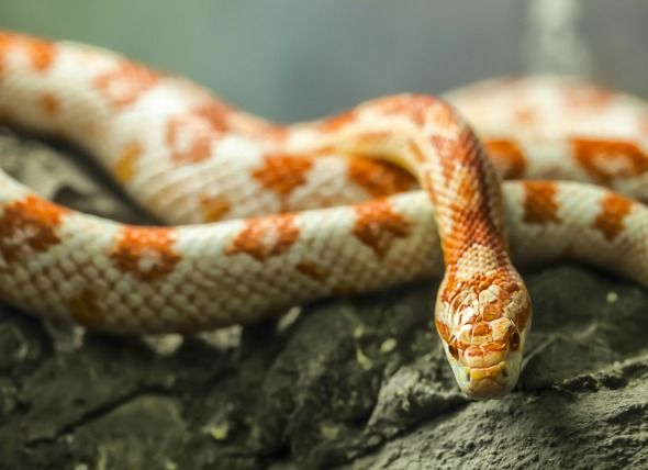 What Do Corn Snakes Eat How To Care For Them Corn Snake Snake Pet Snake