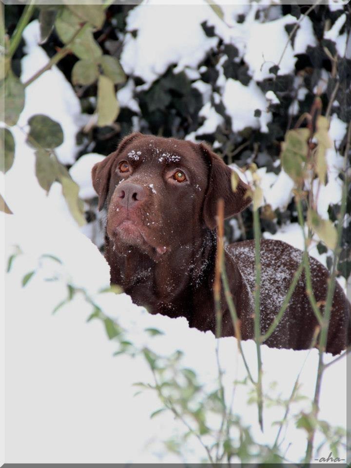 Beautiful Chocolate Lab Hunde Und Maggi