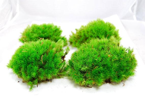 Cushion live moss moss for terrarium vivarim  by Scandicreations