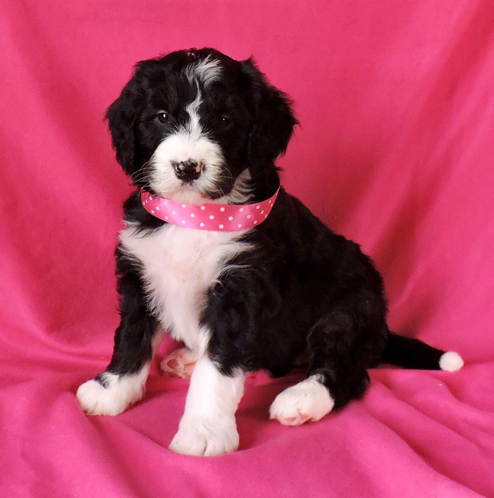 Gentle Bernedoodle Bernadoodle Puppy Bernedoodle Puppy Lancaster Puppies