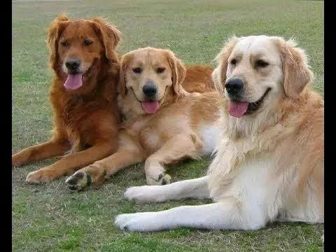 All The Things I Adore About The Friendly Golden Retriever Pups