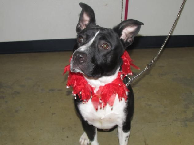 Oakley - URGENT - Richland County Dog Warden in Mansfield, Ohio - ADOPT OR FOSTER - Adult Male Pit Bull Terrier - Available November 14, 2016