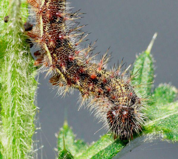 Distelfalter Raupe | Schmetterlinge | Pinterest | Distelfalter ...