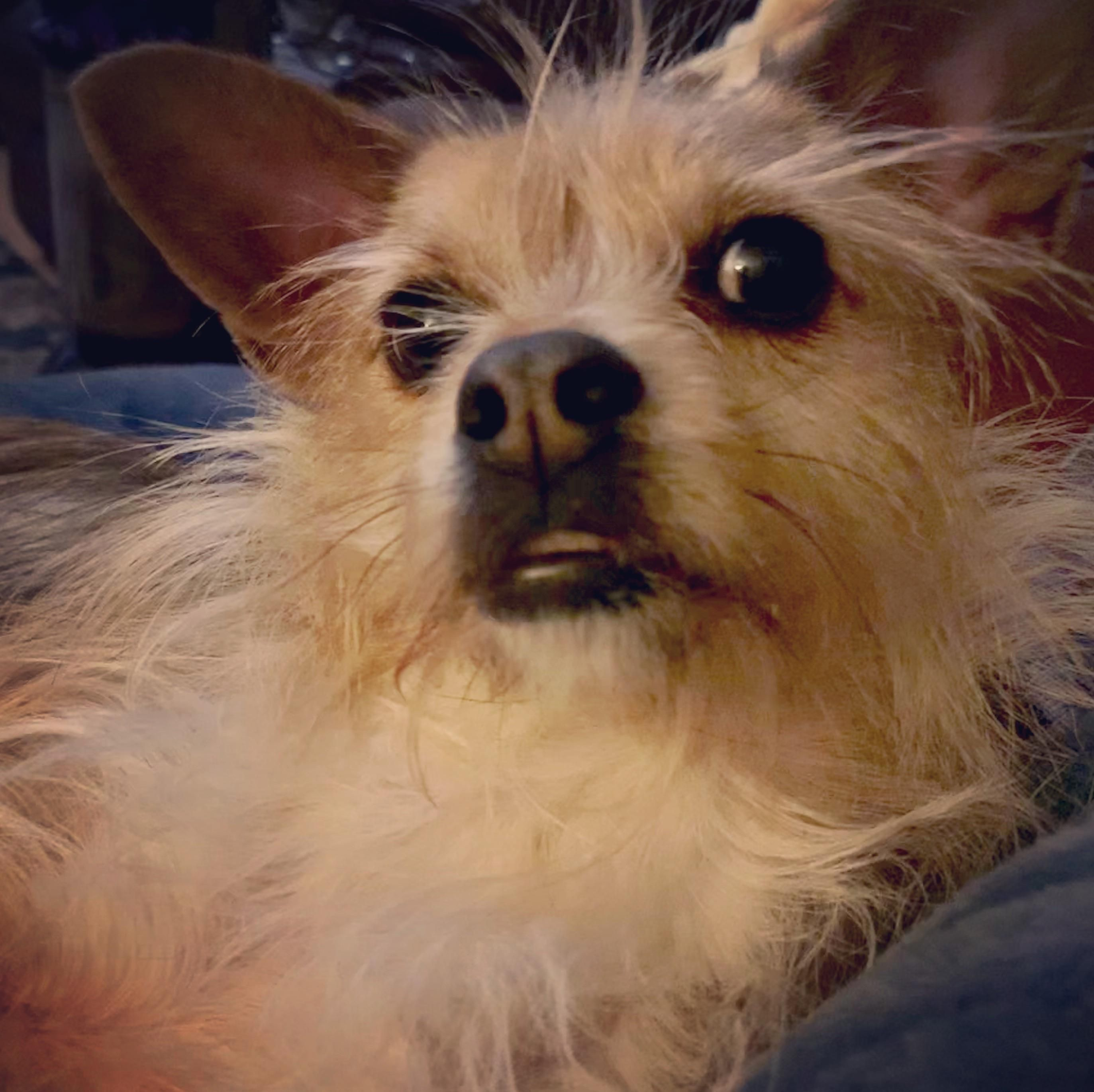 Lost Dog Chihuahua Short Haired Lithia Springs Ga United