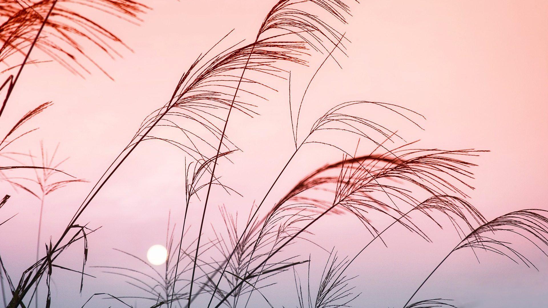 Mostnature Com Grass Pink Sky China Mobile Wallpapers Sky Aesthetic Sunset Wallpaper Landscape Wallpaper Hd wallpaper nature reeds grass sunset
