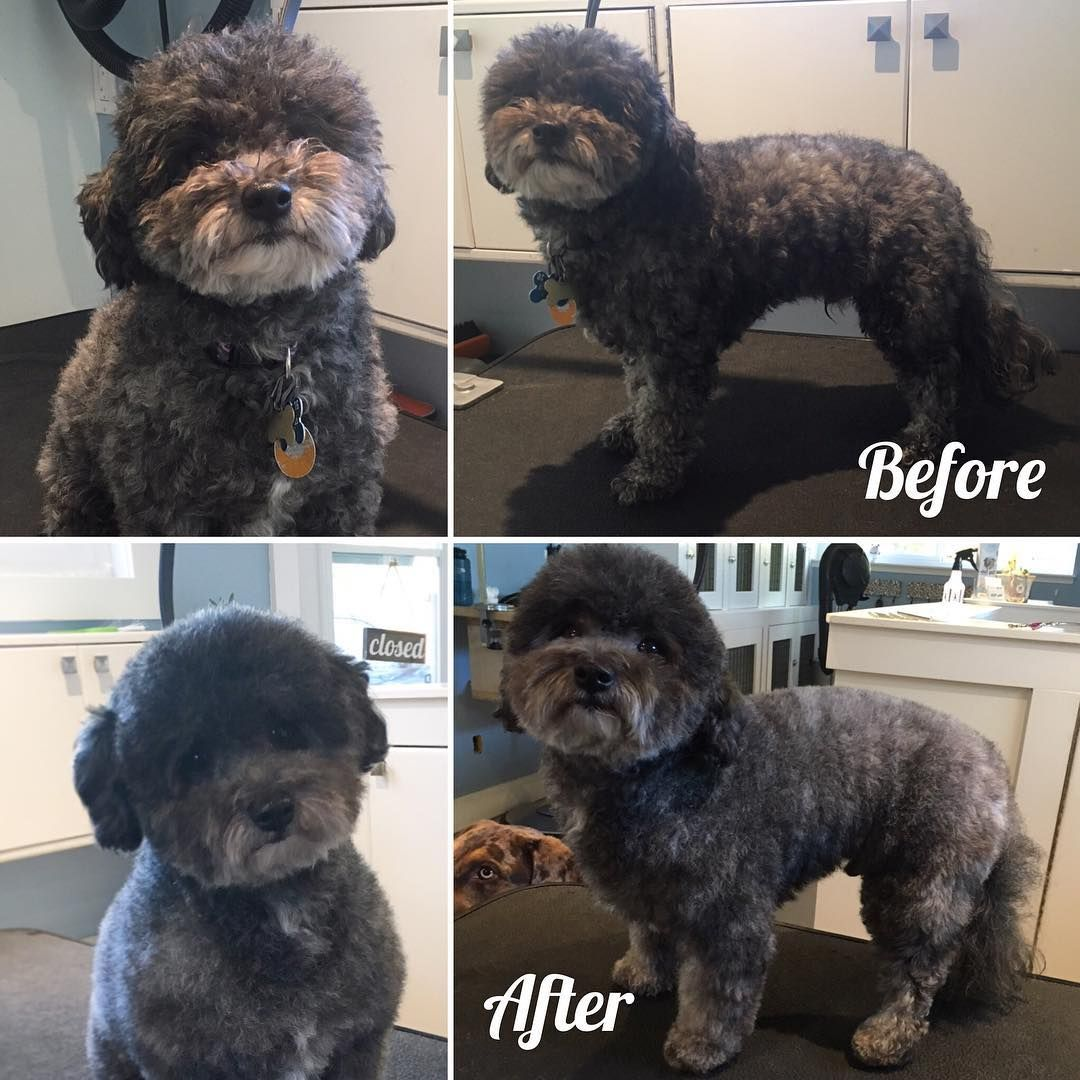 Jj The Bichonpoodle In For Tidy Up Trim Up Victoriabc Yyj Gordonhead Cordovabay Cadborobay Petgrooming Bichonpoodlesofinstagram Pet Groomers