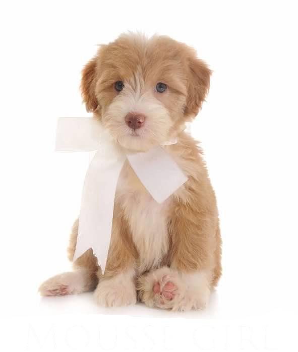 Prices Teddybear Schnoodles Schnoodle Puppy Cute Dogs Puppies And Kitties