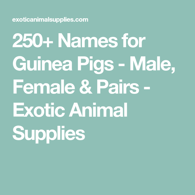 Pin On Ginnie Pigs