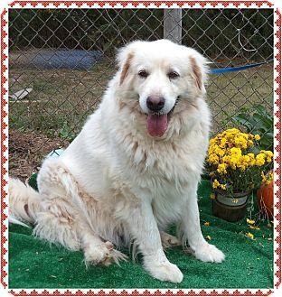Marietta, GA - Great Pyrenees. Meet MACIE a Dog for Adoption.