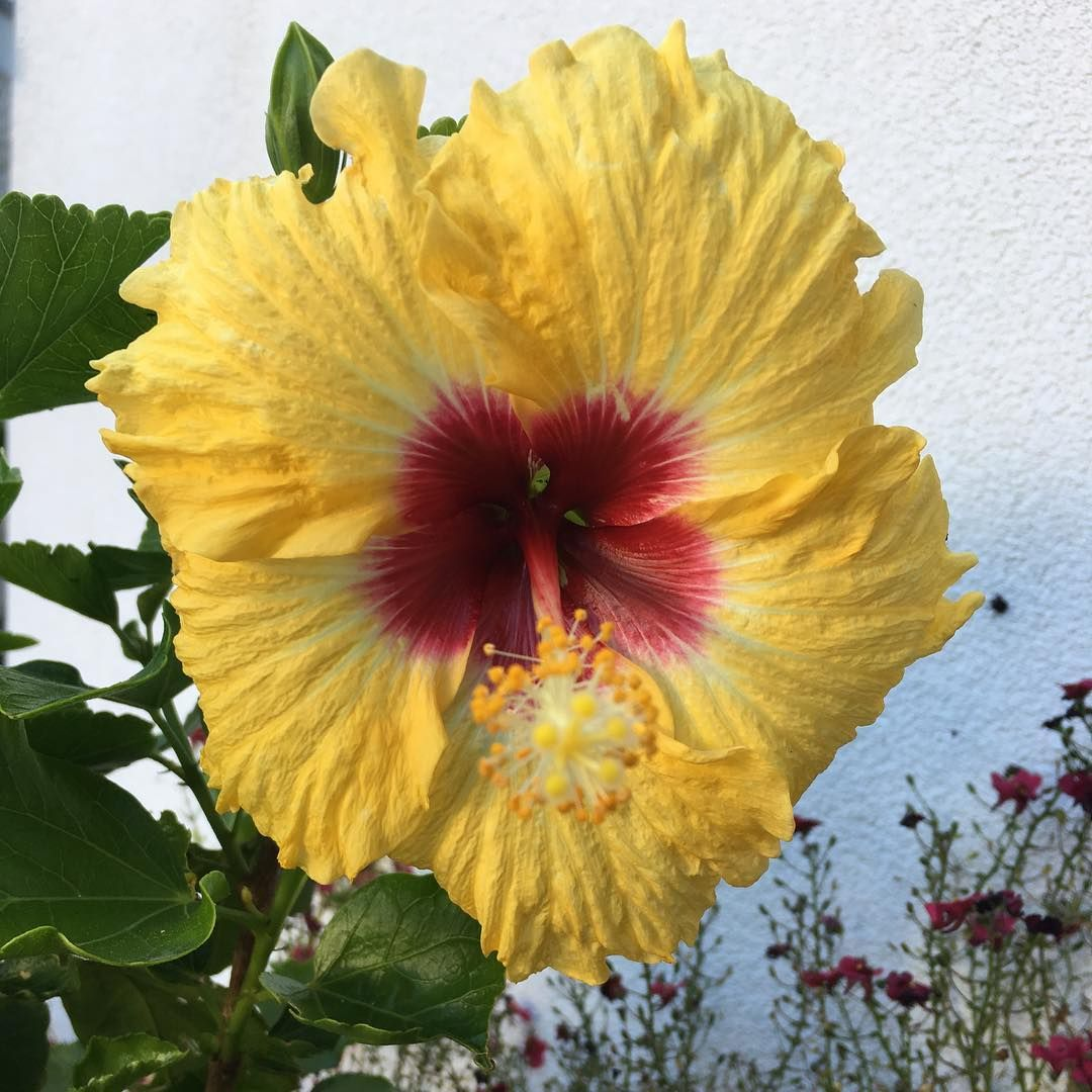 First hibiscus for the season so pretty flower nature hibiscus first hibiscus for the season so pretty flower nature hibiscus blooming izmirmasajfo