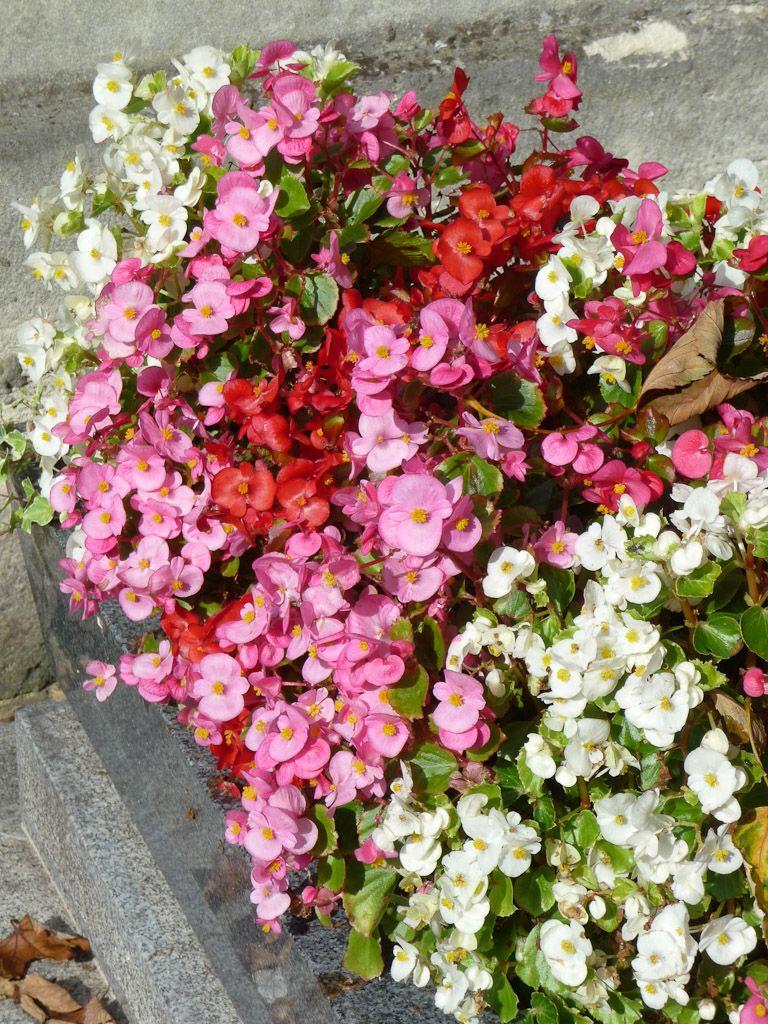 Begonia Semperflorens Ils Portent Si Bien Leur Nom Tanulmanyaim