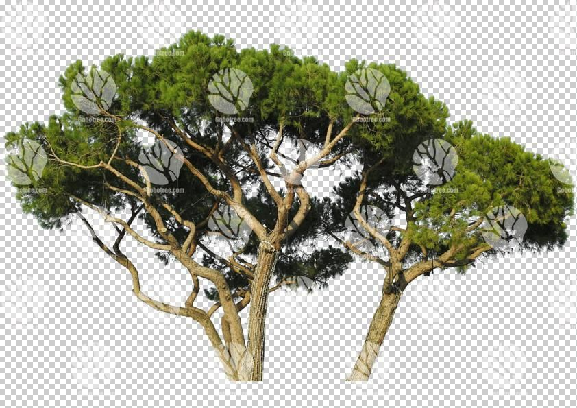 Mediterranean Pine Tree cutout by Gobotree