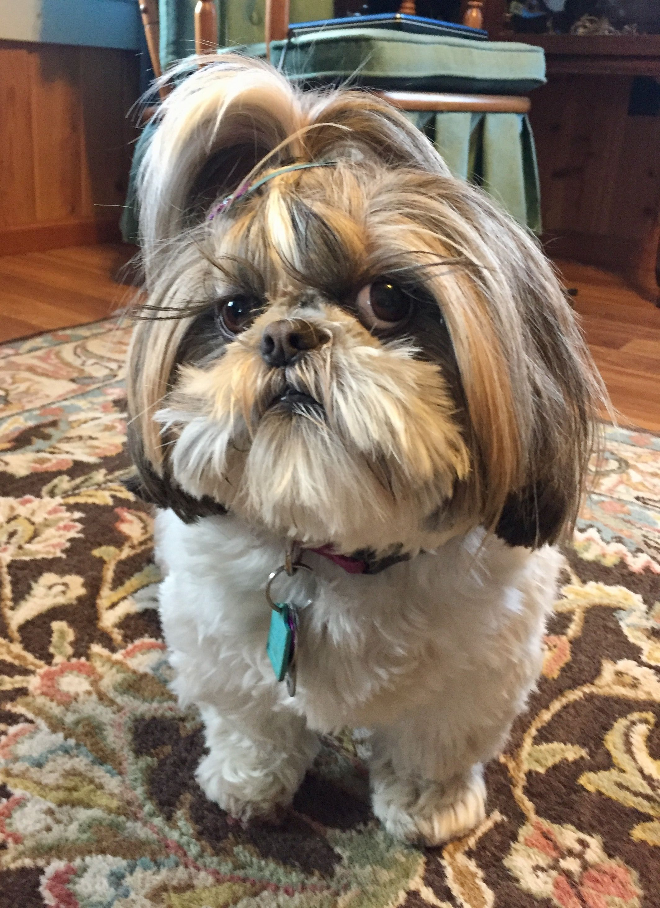 Attitude Is Everything Shih Tzu Haircuts Small Dog Photos Shih Tzu