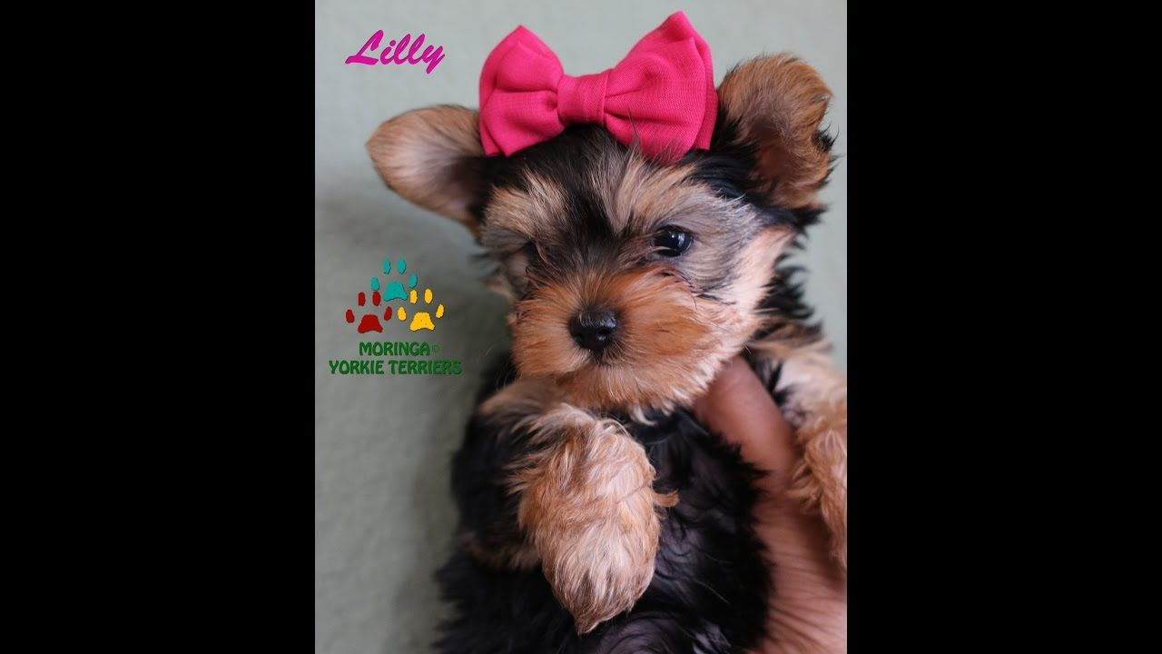 Yorkshire Terrier Puppy Lilly Barking And Playing 8 Weeks Old