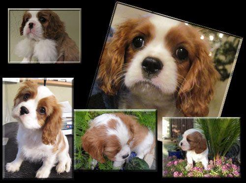 Oklahoma Cavalier King Charles Spaniel Breeder Puppy Instructions