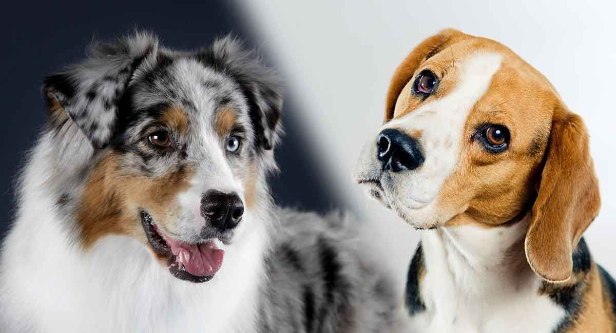 Australian Shepherd Beagle Mix Could This Be The New Dog For You