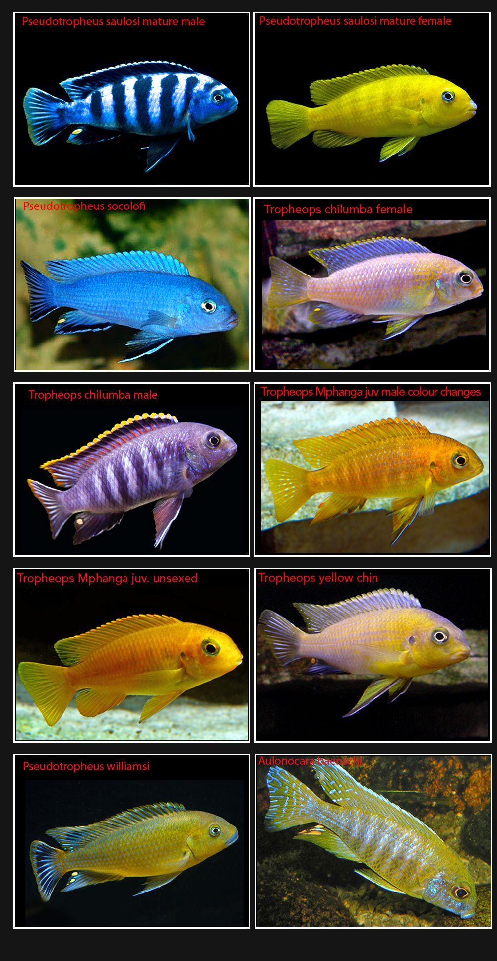 Cichlids Page 8 Cichlids Aquarium Fish Cichlid Aquarium