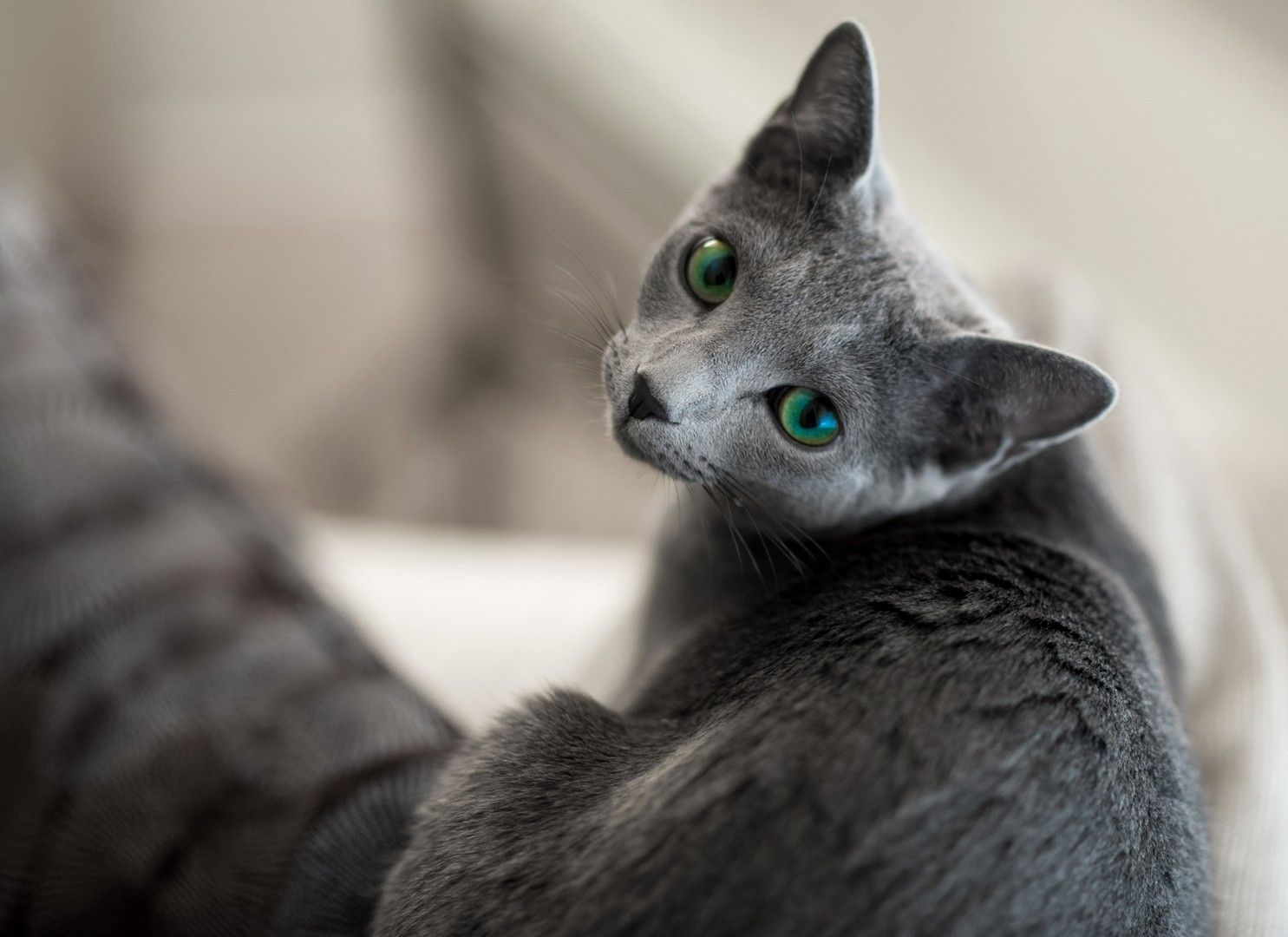 Russian Blue Cat Кошки и котята, Голубые кошки, Русская