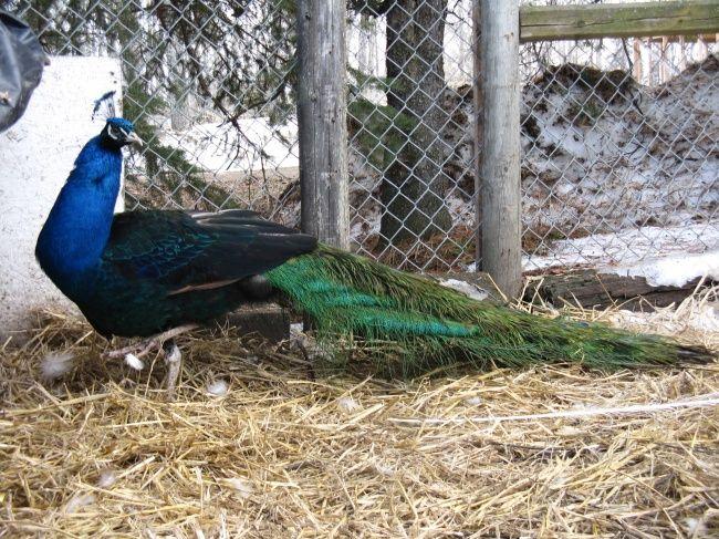 Aninimal Book: I have a lot of 3 fertile Black Shoulder peafowl hatching ...