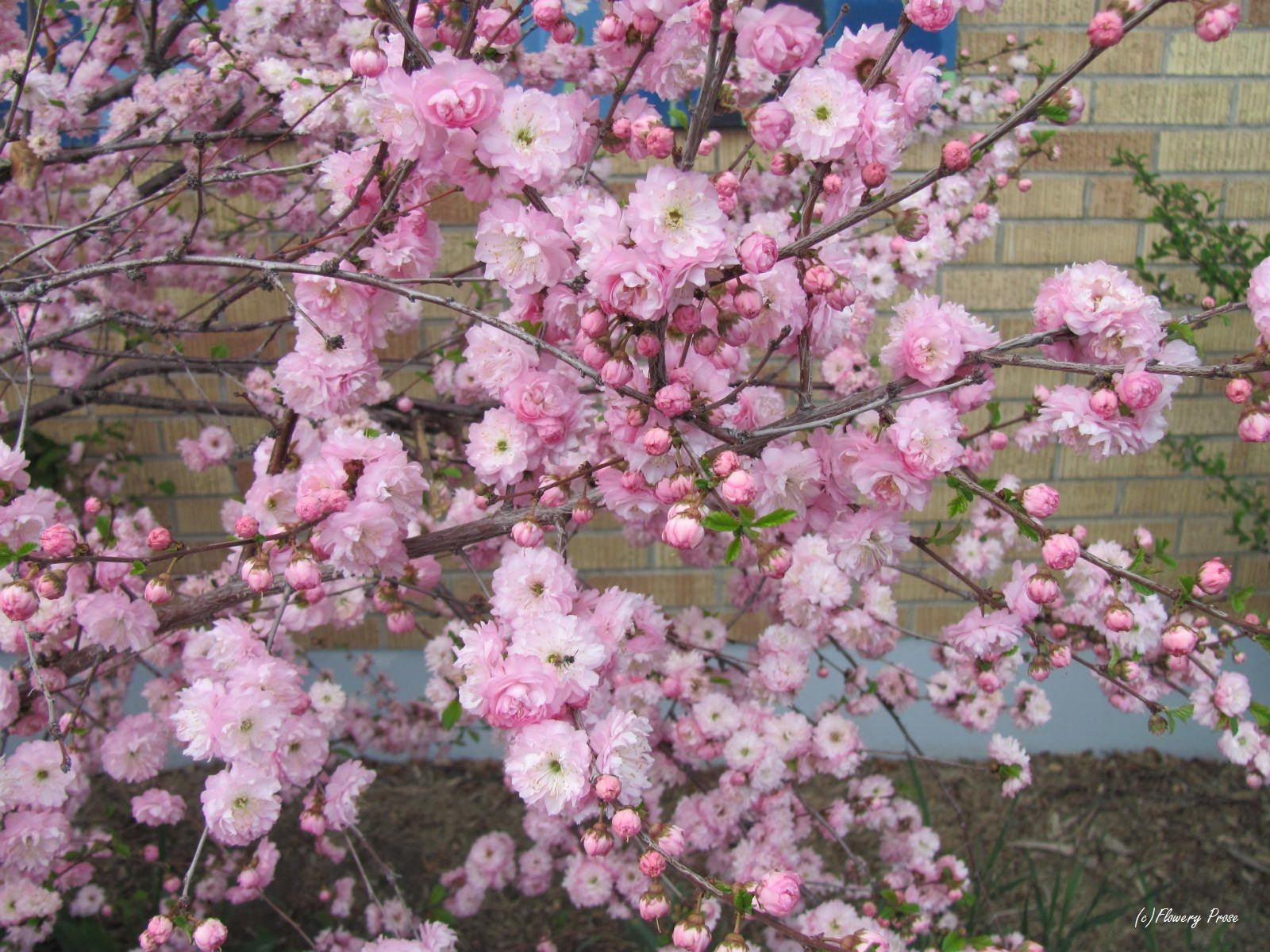 Double Flowering Plums Our Northern Cherry Blossoms In 2020 Ornamental Cherry Growing Cherry Trees Trees To Plant