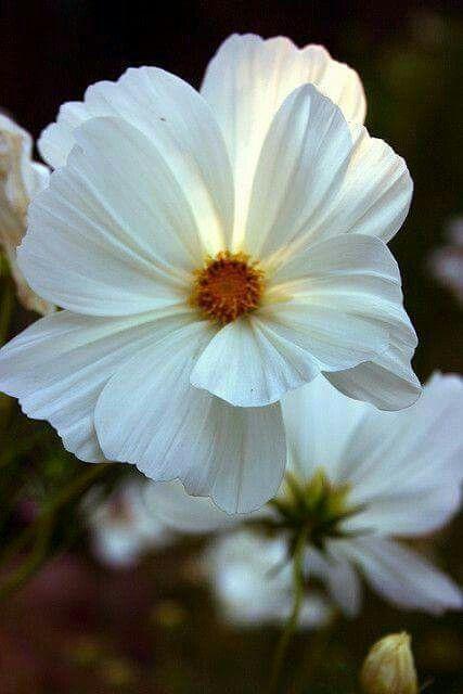 White cosmos flower butterfly ladybug pinterest cosmos white cosmos mightylinksfo