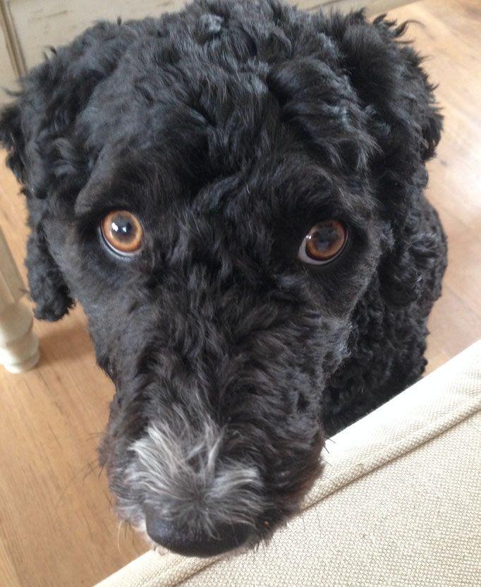 Unsere Hundin Perro Nord Spanische Wasserhund Welpen