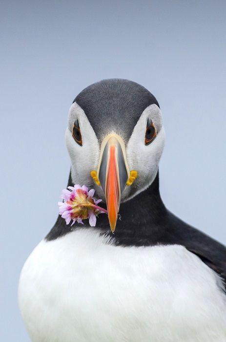Тупик-пингвин, собравшийся подарить цветок второй половинке. Фотограф: Johan Siggesson.