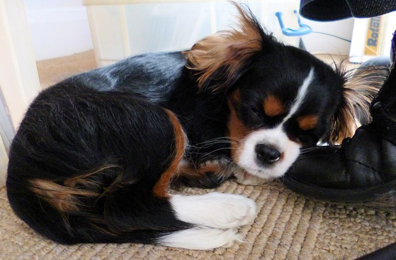 Ozzy the cavalier d with images cavalier king