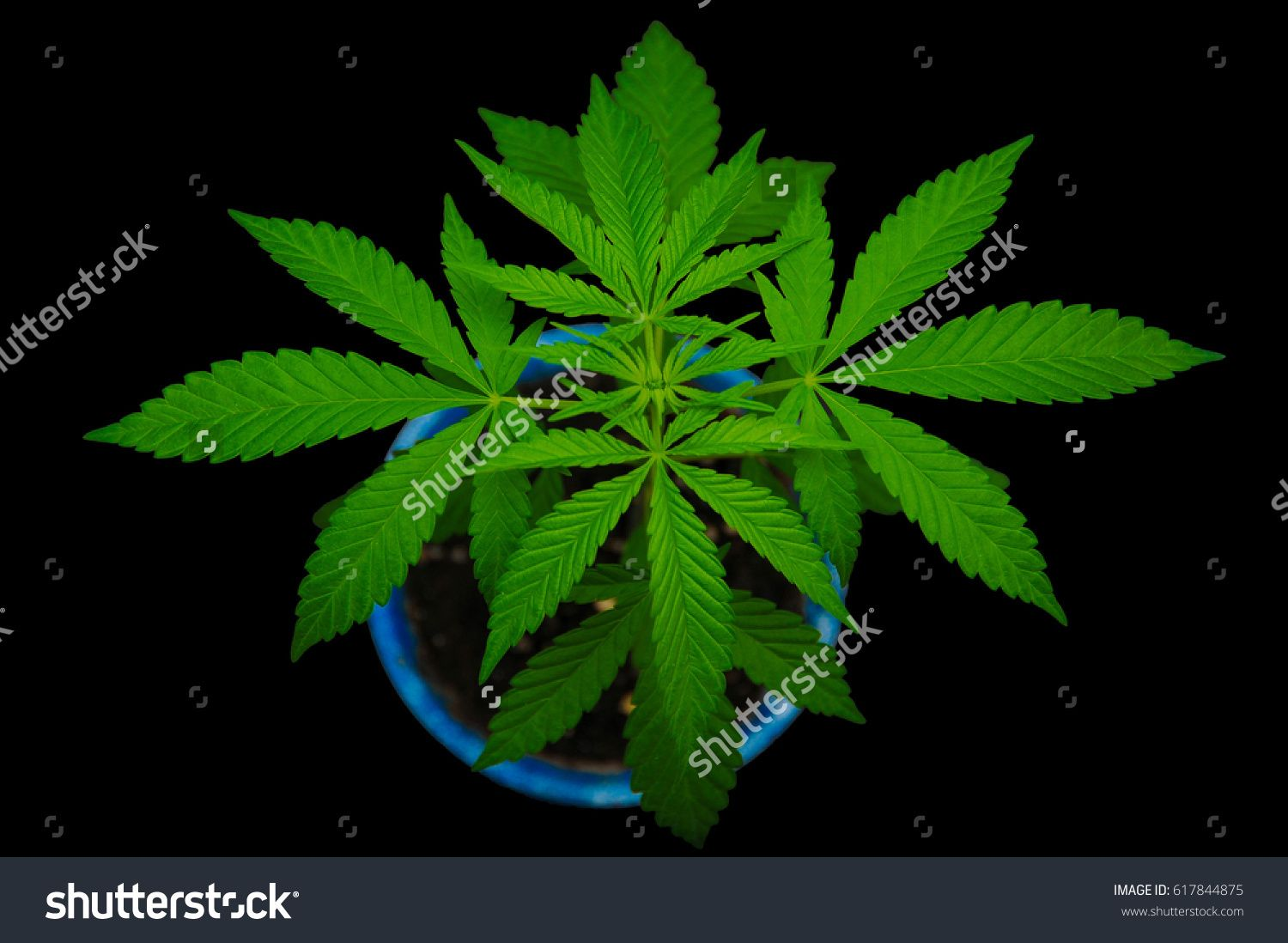 young marijuana indoor plant growing in blue pot isolated on  black background
