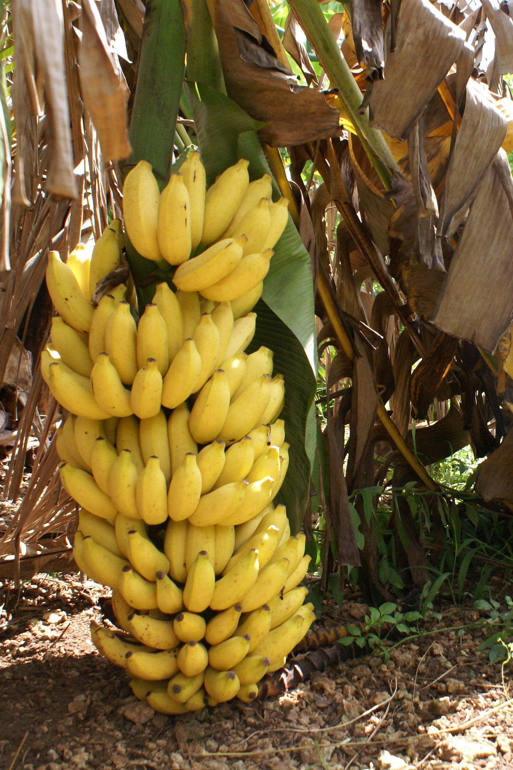 Pin On Bananas As A Main Ingredient