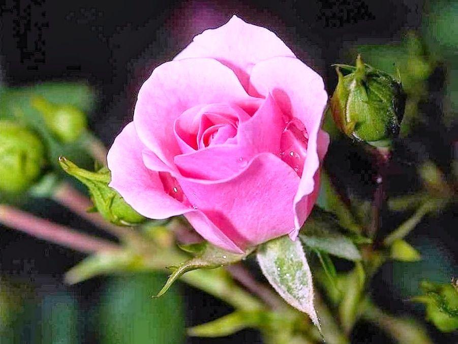 Gambar Bunga Mawar Pink Di Tangkai Bunga Mawar Pink Mawar
