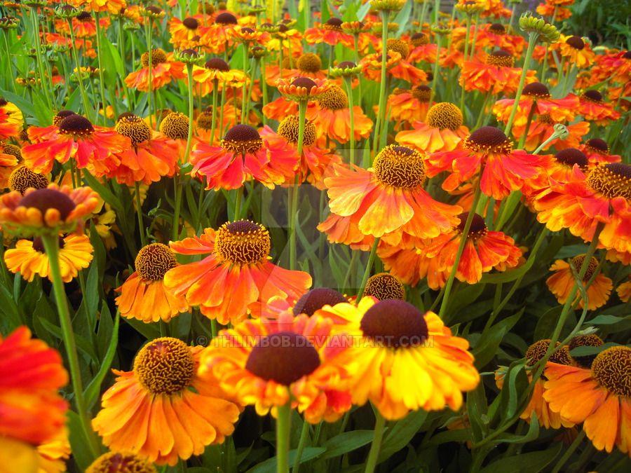 Helenium flowers by Thlimbob