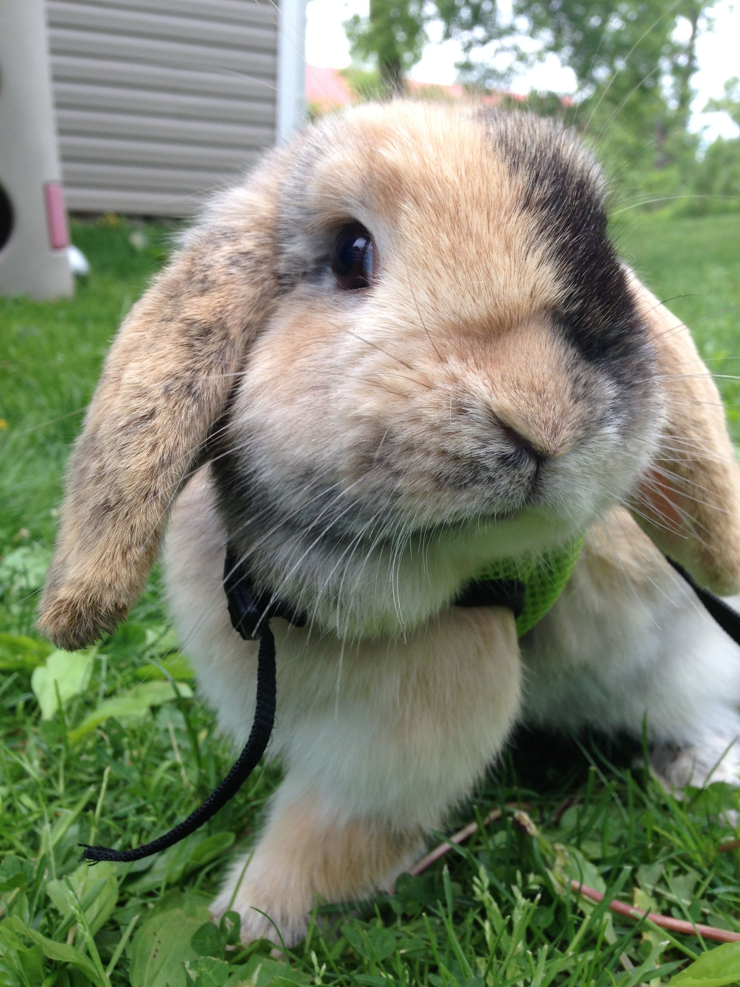Our Harlequin Holland Lop Rabbit Colors Holland Lop Cute Animals