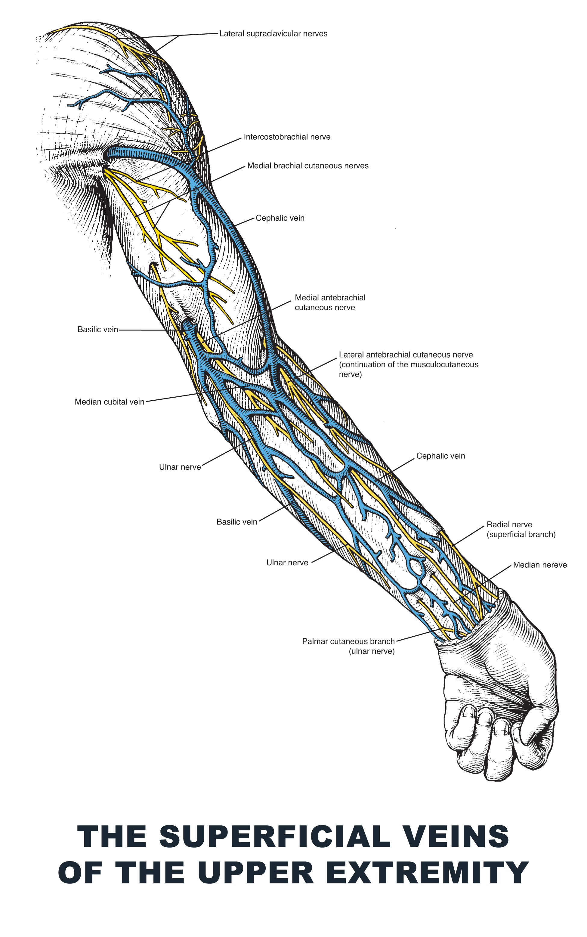 The Superficial Veins of the Upper Extremity - #anatomy images ...