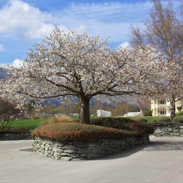 Prunus Serrulata Tai Haku Great White Cherry Cherry Blossom Tree Tree Fragrant Flowers