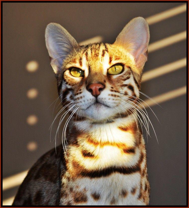 Bengal Cats For Sale Buy A Bengal Cat Bengal Kitten Pricing Bengal Cats Bengal Kittens For Sale Bengal Bree Bengal Cat Asian Leopard Cat Bengal Cat Breeders