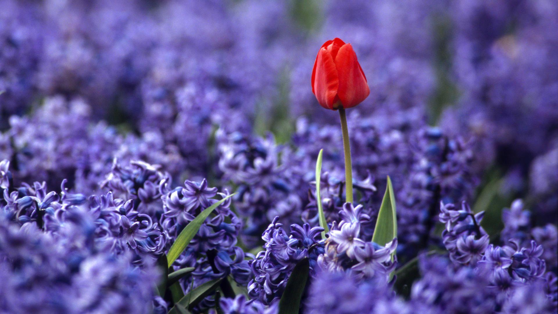 Holland Beautiful Flowers Garden Beautiful Flowers Purple Flowers