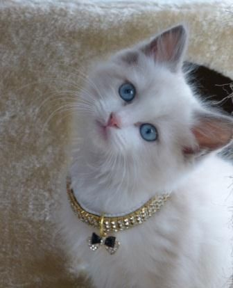 A Little Beauty A Bluepoint Bicolor Ragdoll Cat Kitten And With A Gorgeous Collar To Boot What A Great Combine Ragdoll Kitten Pretty Cats Kitten Pictures