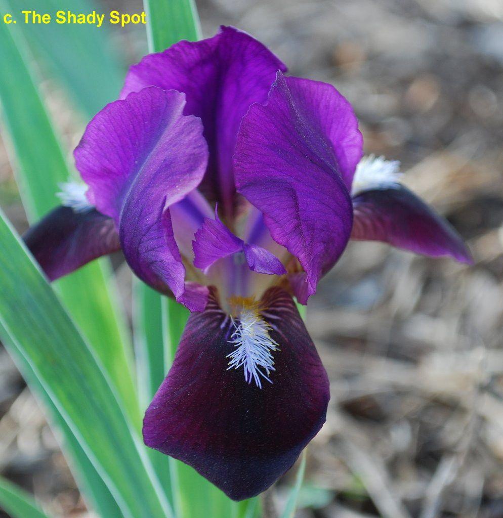Sdblittleblackfoot Sdb Iris Wiki Plants I Want Pinterest