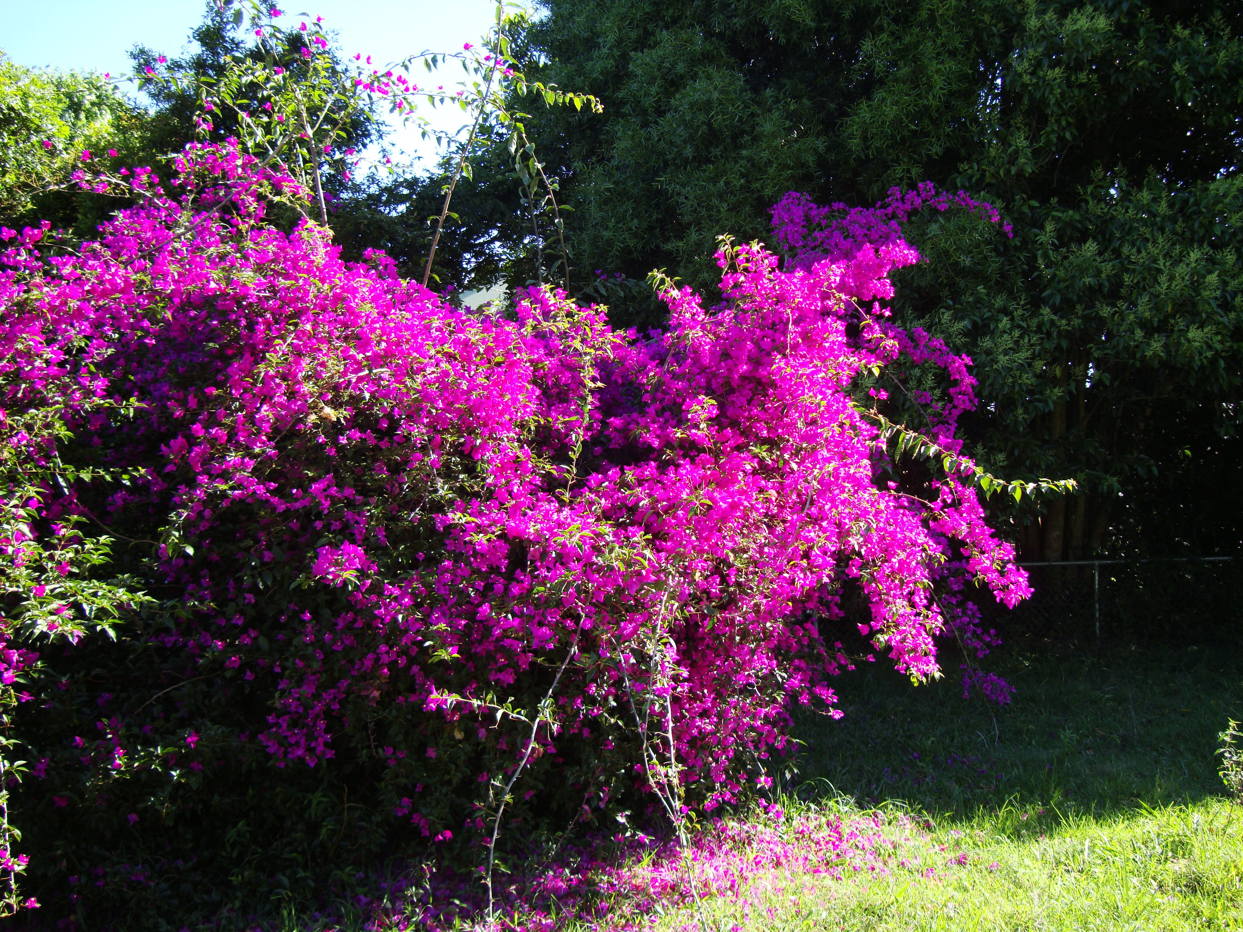 Southern flowering trees and shrubs asisbiz shrubs bushes bushes southern flowering trees and shrubs asisbiz shrubs bushes bushesshrubs small dhlflorist Gallery