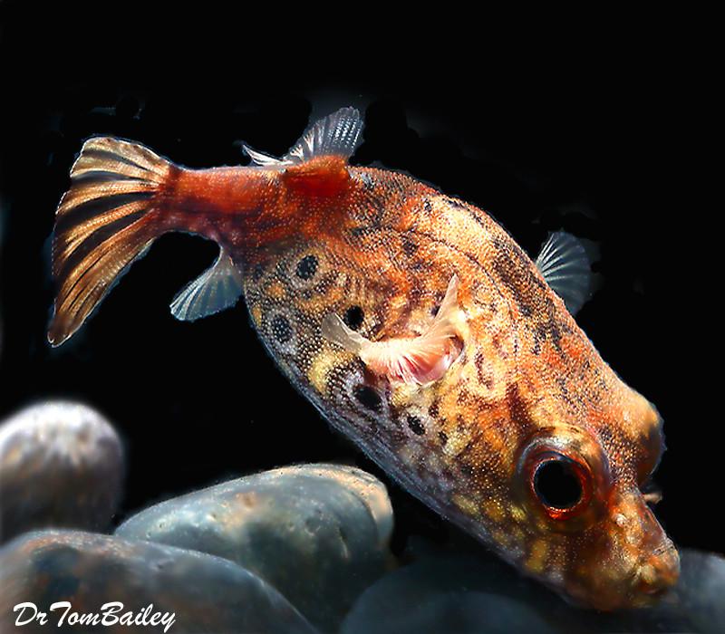 Premium Wild And Rare Freshwater King Kong Pufferfish 5 To 6 Long Aquariumfreshwaterfishpictures In 2020 Rare Fish Aquarium Fish Puffer Fish
