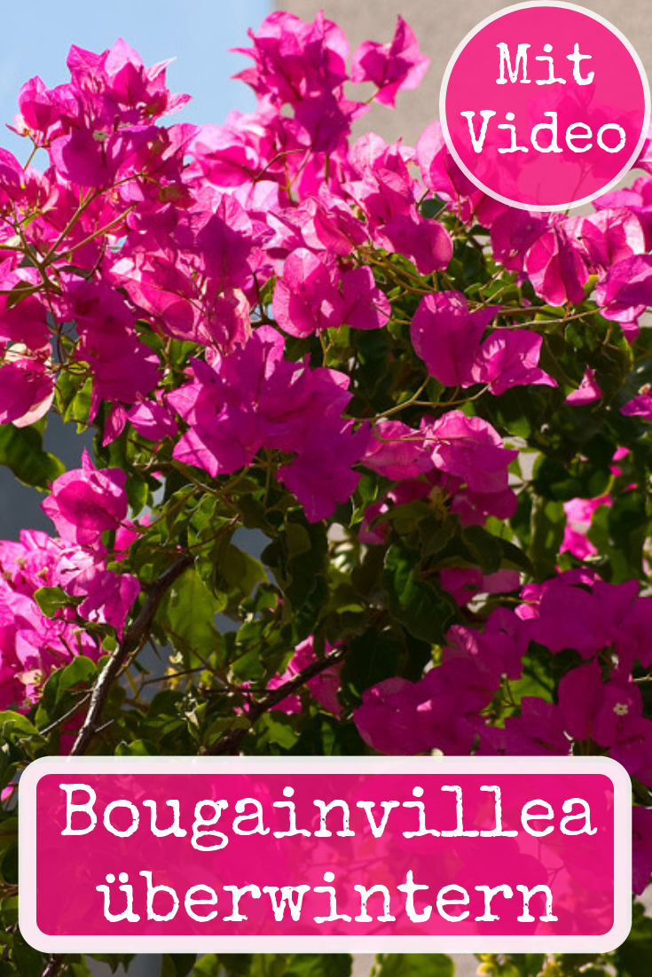 Bougainvillea Uberwintern Selbst De Bougainvillea Bougainvillea Pflanzen Pflanzen