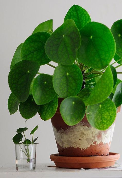 Caring for the Pilea Peperomioides a Playful Houseplant for a Bright Home is part of Chinese money plant, Plants, House plants, House plants indoor, Foliage plants, Plant decor - Plant lover, blog writer and floral face artist Anne van Ours shares tips for creating a luscious home with perky, green Pilea plants
