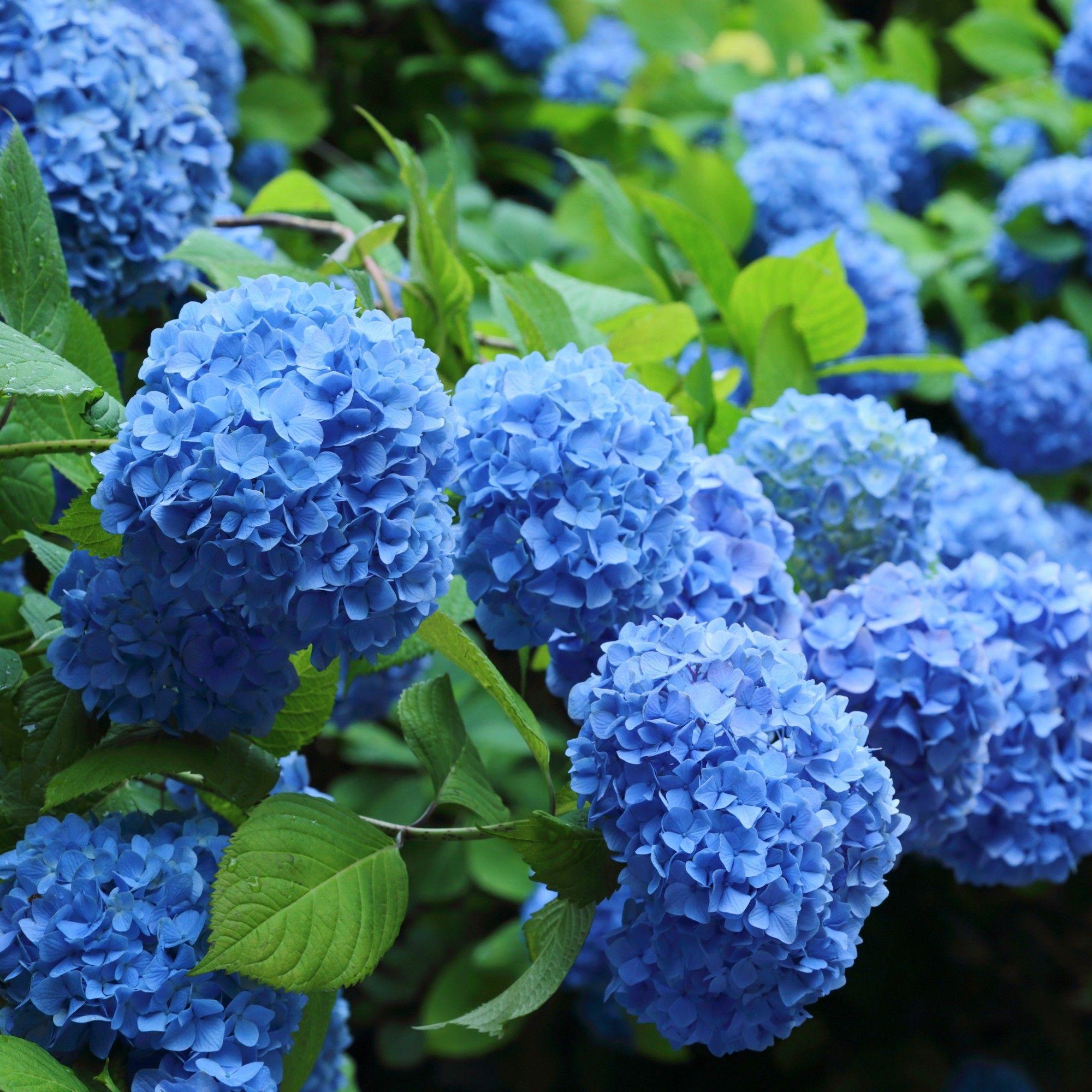 Come Curare Le Ortensie 3pc hydrangea nikko blue - national plant network nel 2020