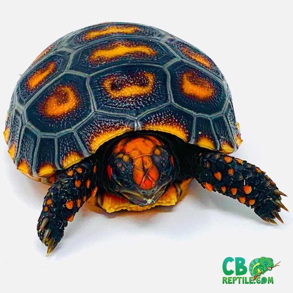 Pin On Baby Tortoise