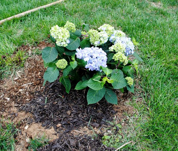 Planting Hydrangeas For Summer Color