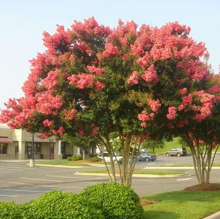 Tuscarora Crape Myrtle Growing tree Fast growing and Plants