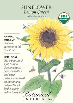 Lemon Queen Sunflower Like A Beacon Of Light Attracting Bees Butterflies And Other Pollin Organic Gardening Tips Growing Sunflowers Organic Vegetable Garden