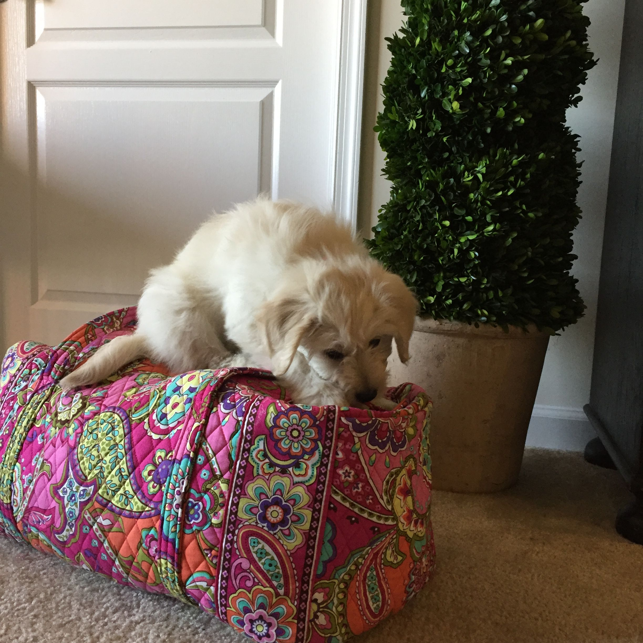 Pin by chase reynolds on puppy mini goldendoodle